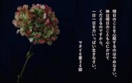 みことばPhotoマタイ6-34紫陽花 のコピー